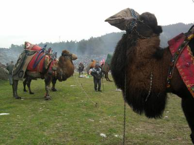 camels in Selcuk Turkey
