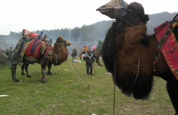 Camel Wrestling in Selcuk, Turkey