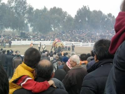 wrestling camels in selcuk