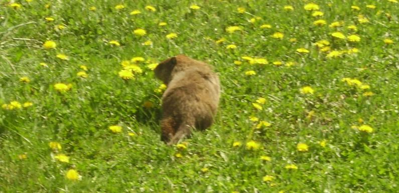 Cute Fuzzy Woodchuck in Quebec – Have You Been Here?