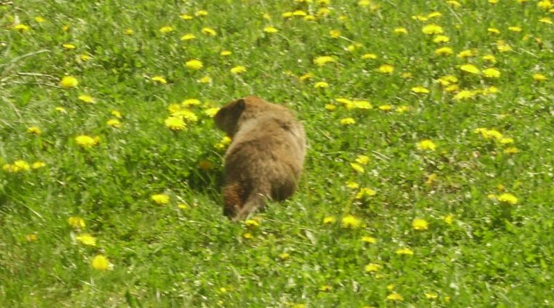 Canadian Woodchuck in Quebec