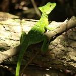 basilisk lizard in costa rica