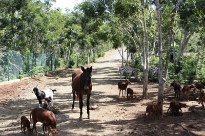zebras in Cuba