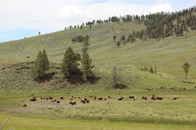 the delicious but annoying bison of Yellowstone