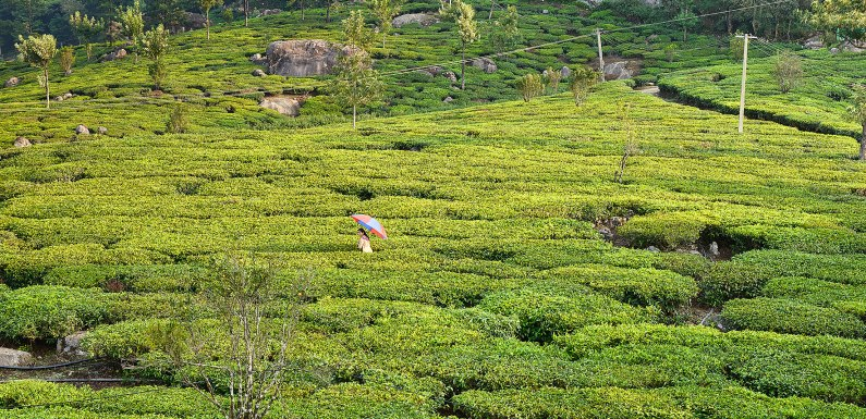 Going Green in Munnar – Kerala, India