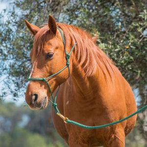 Licol sapin sur cheval alezan