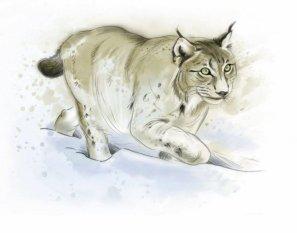 Des illustrations signées Caroline Koehly. Ici, le lynx. DR