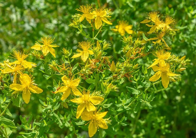 Il commence par attirer notre regard par sa floraison abondante, haute en couleur. C'est pour nous montrer qu'une fleur est d'abord un bouton, puis une fleur épanouie, puis une fleur qui constitue ses fruits. Si nous l'avions oublié, le Millepertuis - ici quelque peu agrandi – nous le rappellerait, car sur ses tiges fleuries tous les stades cohabitent.
