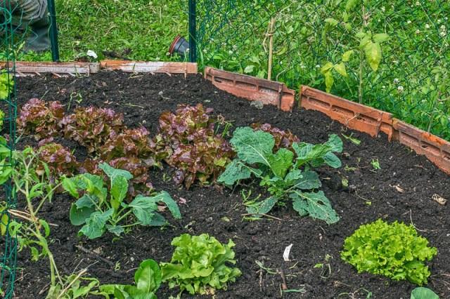 Après le désherbage, les salades et choux rescapés de la razzia par le gibier, sont mis en valeur. Des salades prêtes à être consommées.