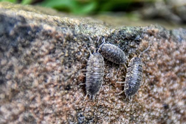La femelle incube ses œufs sous le ventre et comme ils sont invisibles, au moment où ils éclosent,  ils semblent naître comme de petits cloportes encore à demi-transparents. Les cloportes se nourrissent de matière végétale en décomposition. Cela veut dire qu'ils occupent une place déterminée dans une chaîne complexe et interactive de décomposition et de restitution des matières nutritives. Les cloportes sont utiles.