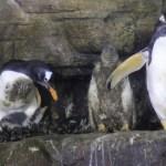 """Cuatro pingüinos """"Juanito"""" nacen en el Oceanogràfic de Valencia"""