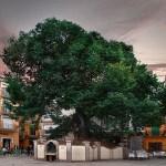 ¿Sabías que el Árbol del año 2019 en España está en la Comunitat Valenciana?