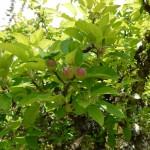 Appelboom (Medium)
