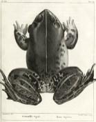 Hoplobatrachus tigerinus, illustration tirée de François Marie Daudin (1802). Histoire naturelle des rainettes, des grenouilles et des crapauds, Levrault (Paris)