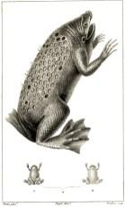 Grenouille probablement du genre Pipa, illustration tirée de Frédéric Cuvier (1816-1830). Dictionnaire des sciences naturelles. Planches. 2e partie : règne organisé. Zoologie. Poissons et reptiles, F. G. Levrault (Paris)