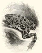 Illustration tirée de Thomas Bell (1839). A History of British Reptiles, John Van Voorst (Londres)