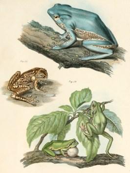 Planche tirée de Leopold Fitzinger (1864). Bilder-atlas zur wissenschaftlich-populären Naturgeschichte der Amphibien in ihren sämmtlichen Haupt formen, K. K. Hof-und Staatsdruckerei (Vienne)
