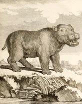 Illustration de Jacques de Sève d'un hippopotame mâle tirée de Buffon (1776). Histoire naturelle, générale et particulière, avec la description du cabinet du roi. Supplément. Tome troisième, Imprimerie royale (Paris)