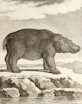 Hippopotame femelle, illustration tirée de Buffon (1782). Histoire naturelle, générale et particulière, avec la description du cabinet du roi. Supplément. Tome sixième, Imprimerie royale (Paris)