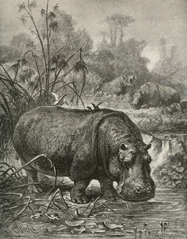 Planche de Friedrich Specht (1839-1909), tirée d'Alfred Edmund Brehm (1895). Brehm's Life of Animals: A Complete Natural History for Popular Home Instruction and for the Use of Schools, A.N. Marquis & Companyy (Chicago)