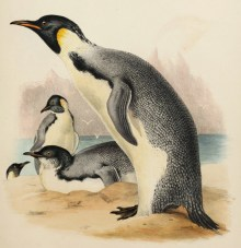 Manchot empereur (Aptenodytes forsteri), illustration tirée de John Richardson et John Edward Gray (1844). The Zoology of the Voyage of the H.M.S. Erebus & Terror, Under the Command of Captain Sir James Clark Ross, During the Years 1839 to 1843. Vol. I. Mammalia, Birds, E.W. Janson (Londres)