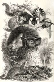 Les mammifères de Madagascar, illustration extraite de Philip Lutley Sclater (1864). The Mammals of Madagascar, The Quarterly Journal of Science, 1 (April 1864)