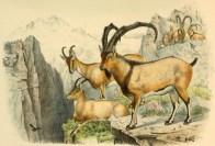 Variété sauvage de la chèvre (Capra aegagrus), illustration extraite de Richard Lydekker (1898). Wild Oxen, Sheep & Goats of All Lands, Living and Extinct, Rowland Ward (Londres)
