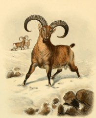 Chèvre du Caucase occidental (Capra caucasica), illustration extraite de Richard Lydekker (1898). Wild Oxen, Sheep & Goats of All Lands, Living and Extinct, Rowland Ward (Londres)