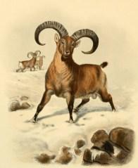 Chèvre du Caucase occidental (Capra caucasica), illustration extraite de Richard Lydekker (1898). Wild Oxen, Sheep & Goats of All Lands, Living and Extinct, Rowland Ward (Londres)
