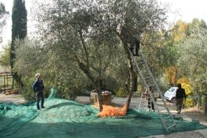 Last year picking olives