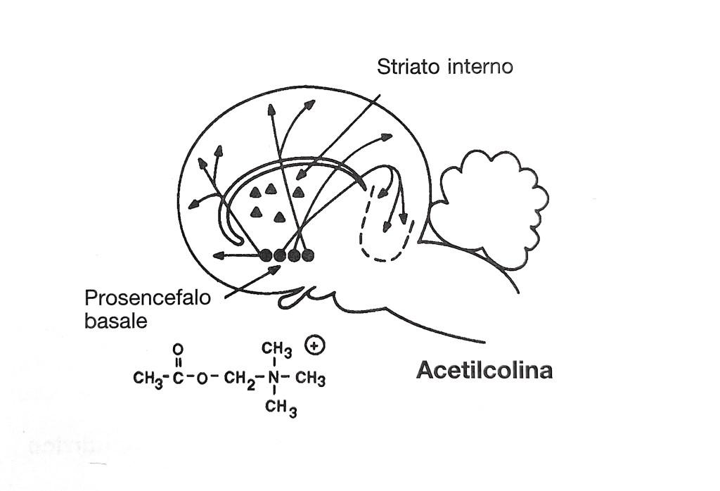 neuroni-colinergici-del-prosencefalo