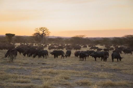 Buffaloes Ruaha