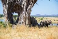 Elephants hiding