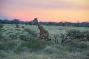 Giraffe Tanzania Travel