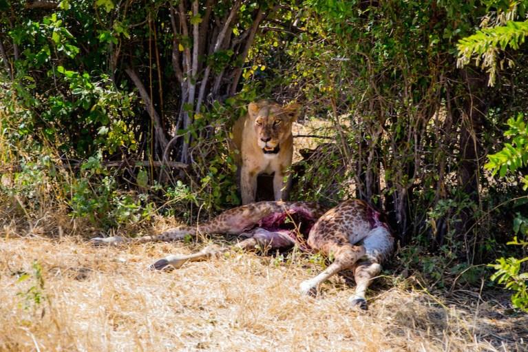 Lion Giraffe Kill Tanzania Travel