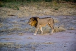 Lion King Tanzania