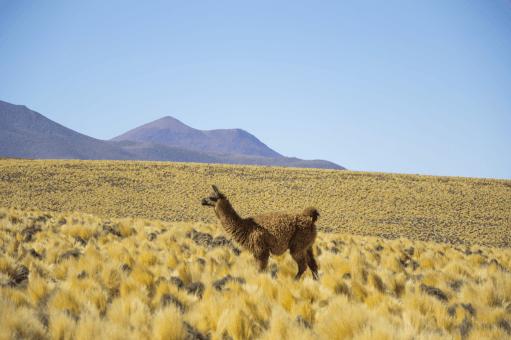 Alpaca near ALMA