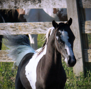 SMHC's LUCKY DANCER, Minature Horse, Mare, Valhalla Farm Breeder Minis