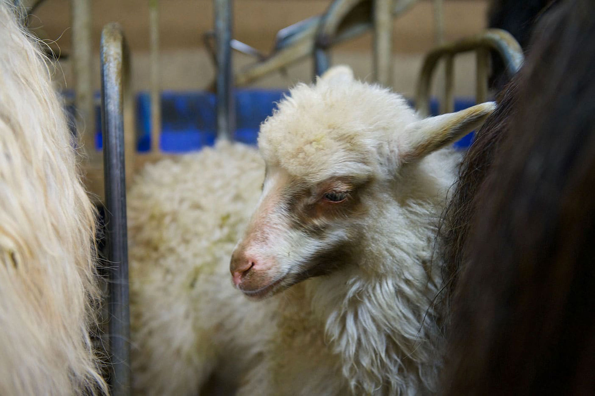 Une agnelle de Valicella à la ferme auprès de sa maman.