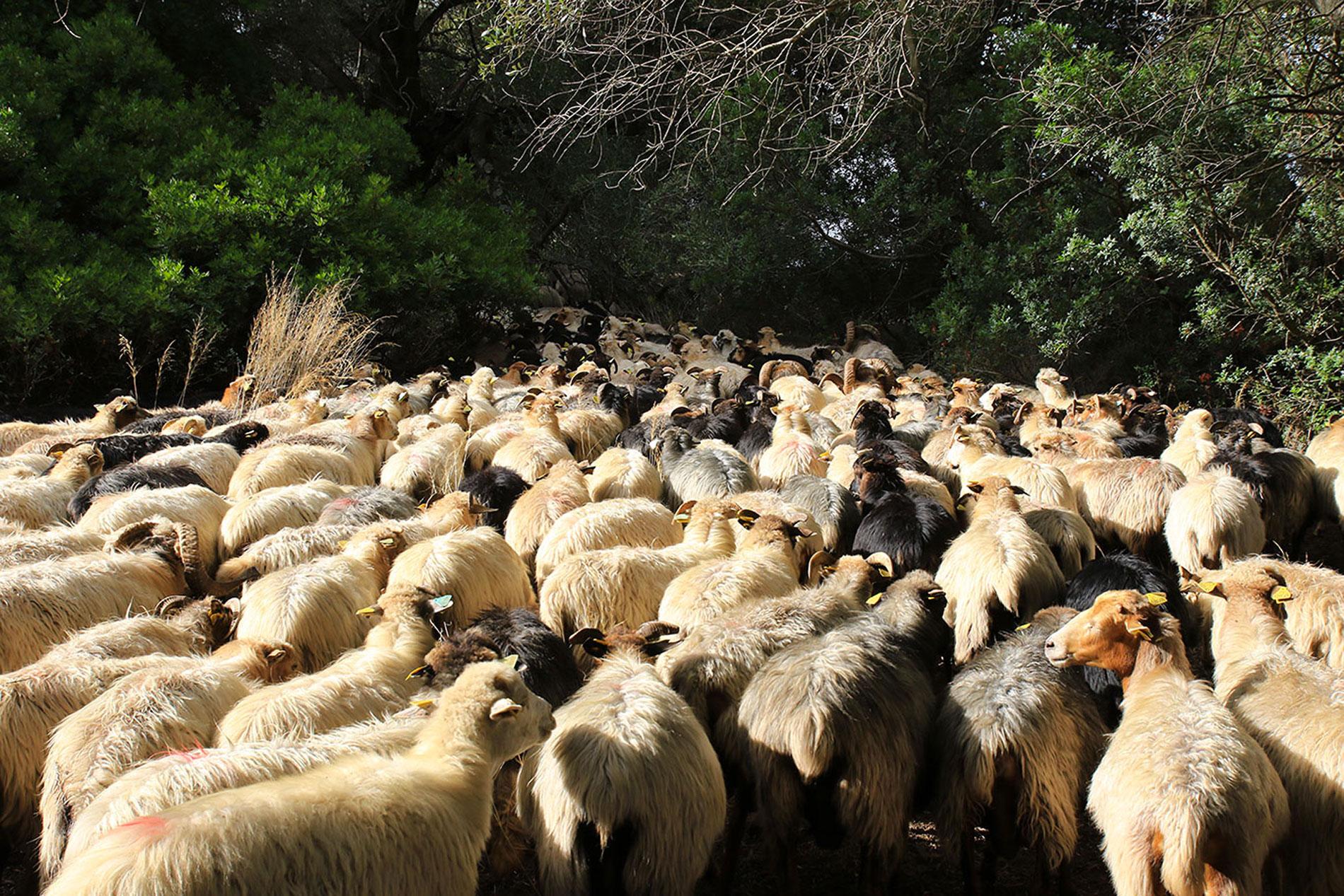 Les brebis de Valicella sur le chemin de la traite. En route vers la ferme.