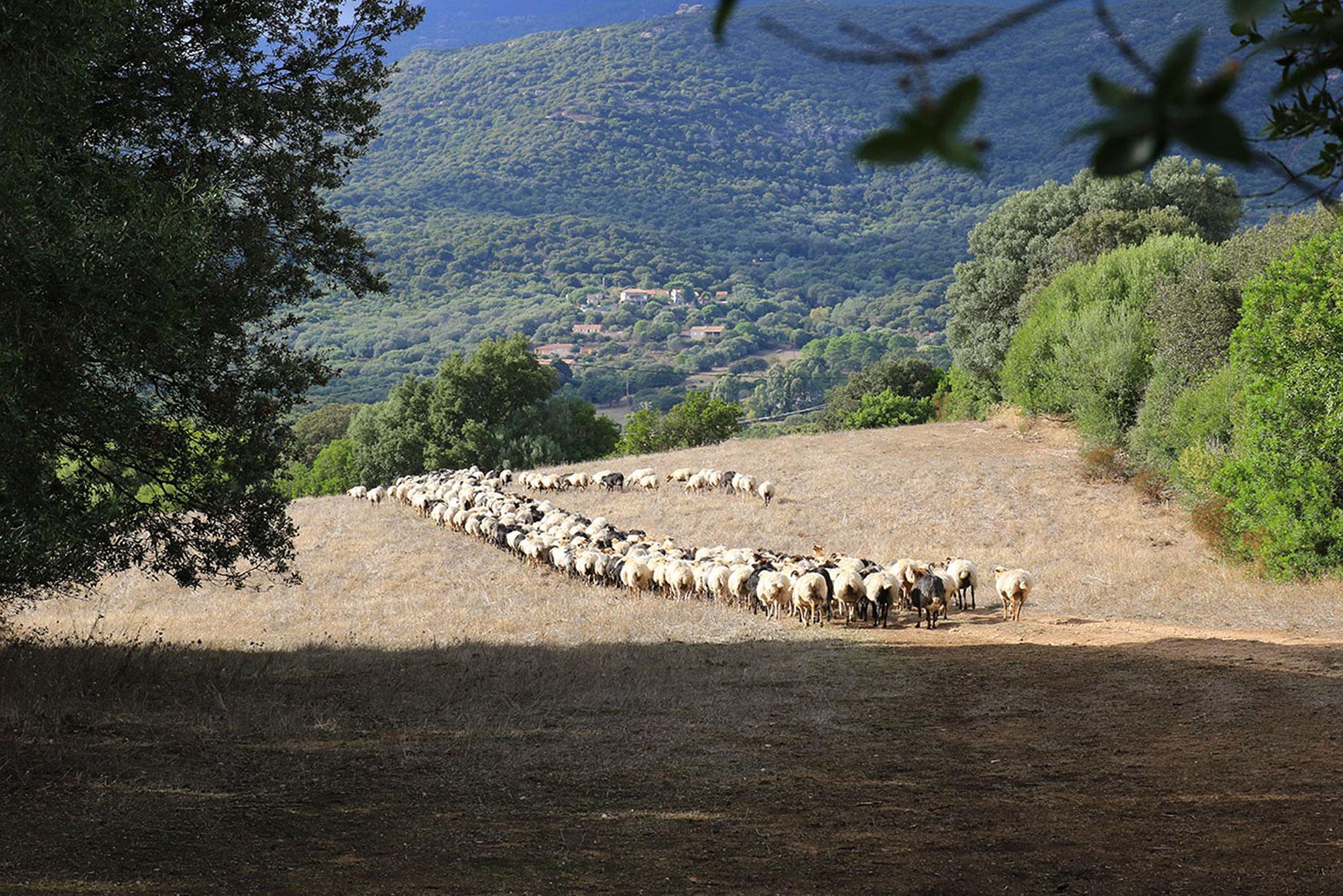 Les brebis de Valicella rentrent vers la ferme.