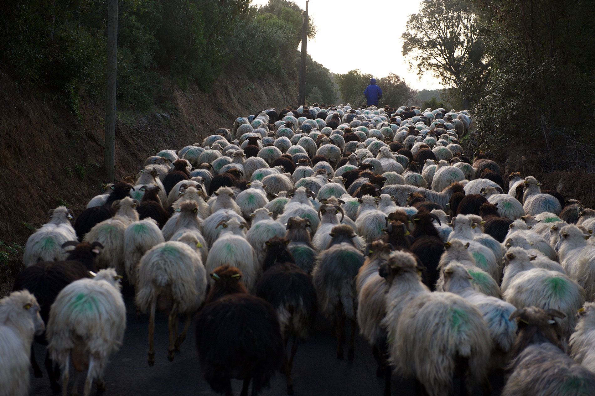 Les brebis de Valicella marchent vers un autre champs près de la ferme.