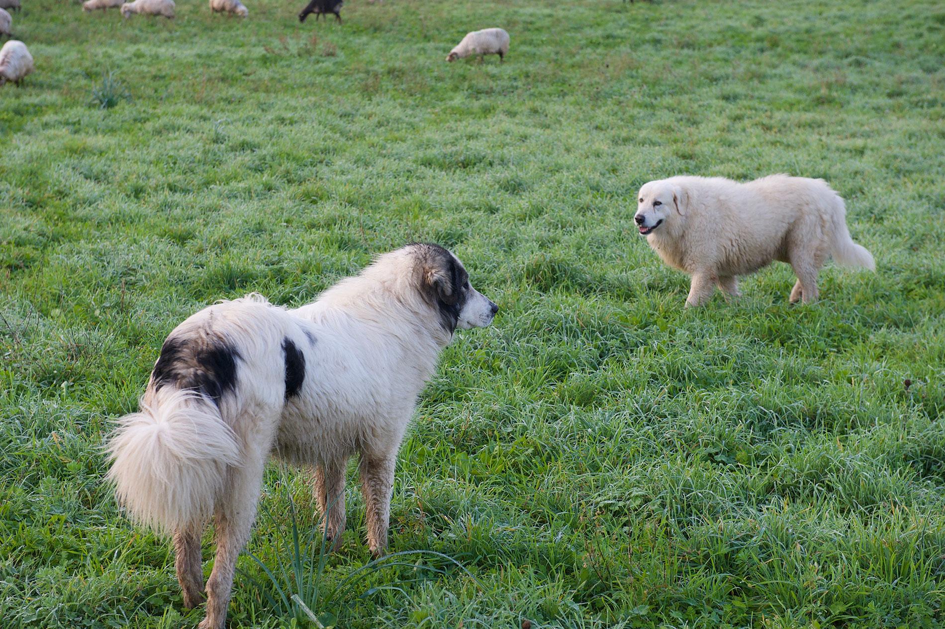 Les chiens de brebis Patoux des Pyrénées gardent le troupeau de brebis corses