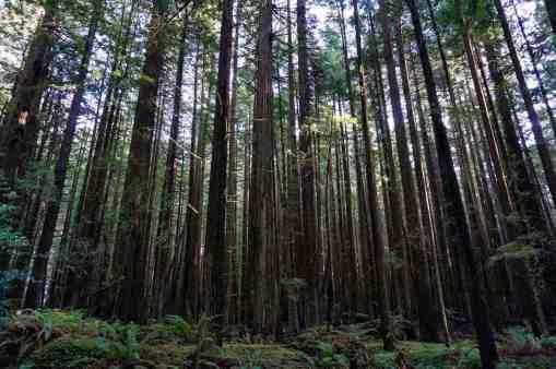 California Redwoods 3