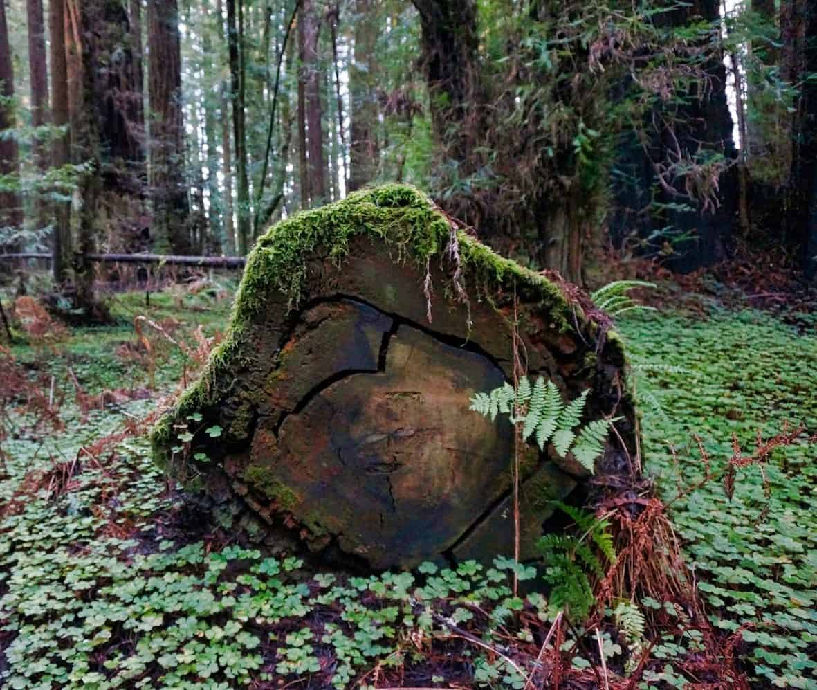 California Redwoods - Greig-French-Bell Grove
