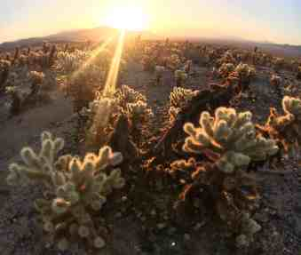 Joshua Tree Weekend Itinerary - Cholla Cactus Garden
