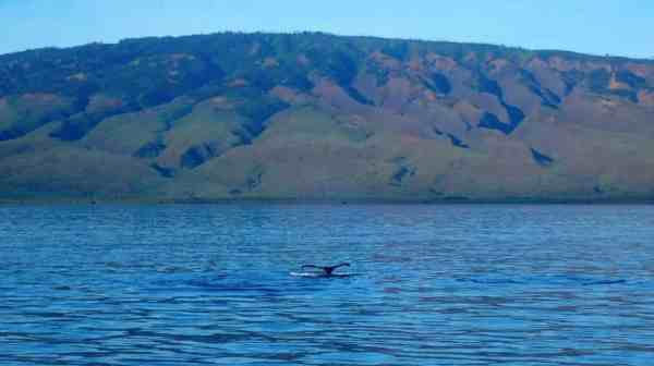 UnCruise Hawaii Featured - Whale Tail
