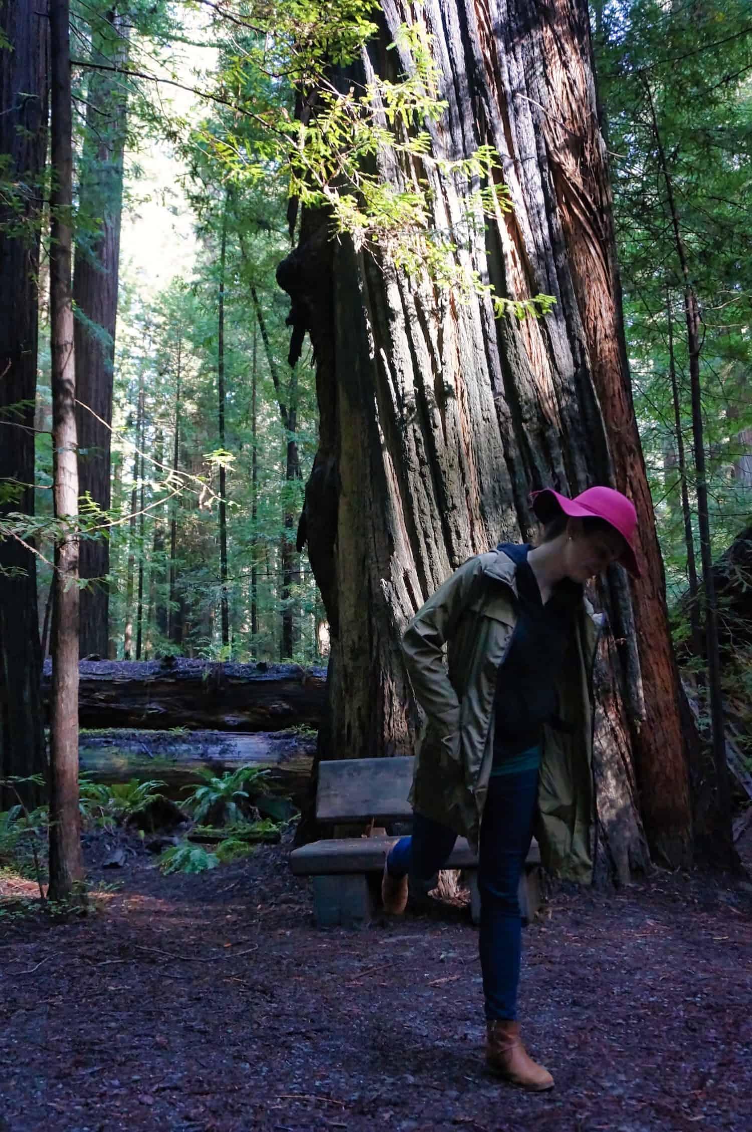 Redwoods near San Francisco - Redwood Facts