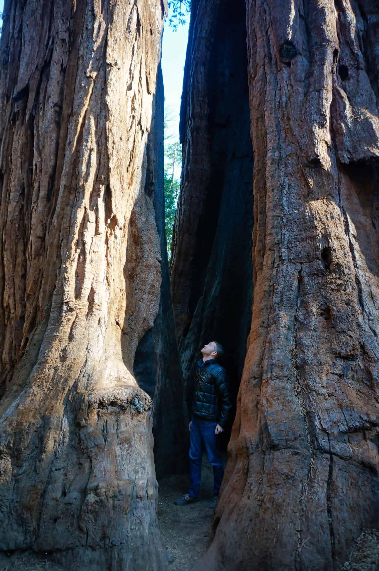 Calaveras Redwoods - Mr. V inside a tree