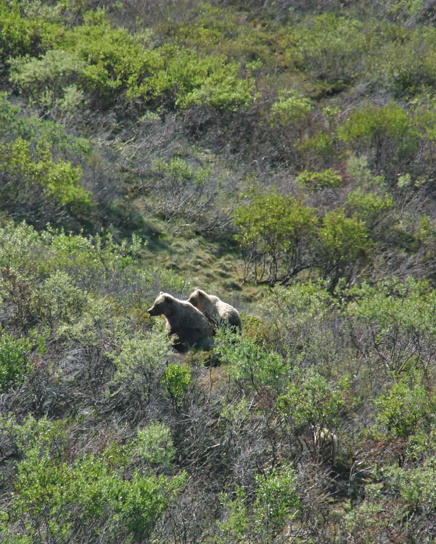 Denali National Park - Bears